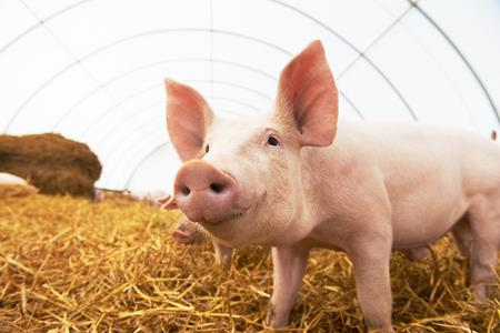 How pigs are helping UTS scientists tackle antibiotic resistance